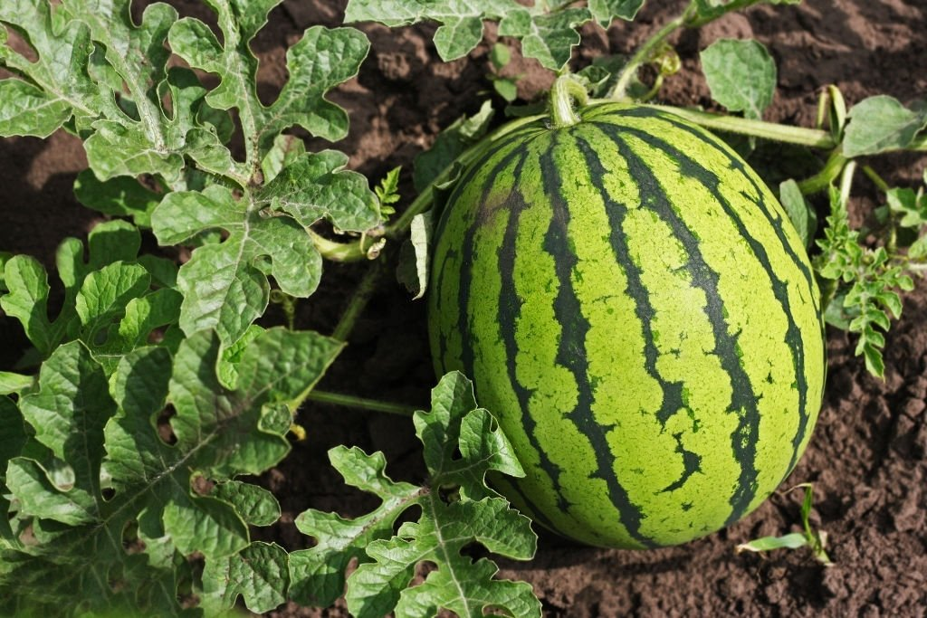 Watermelon – Dream Meaning and Symbolism 4
