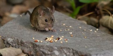 Mouse – Dream Meaning and Symbolism 125