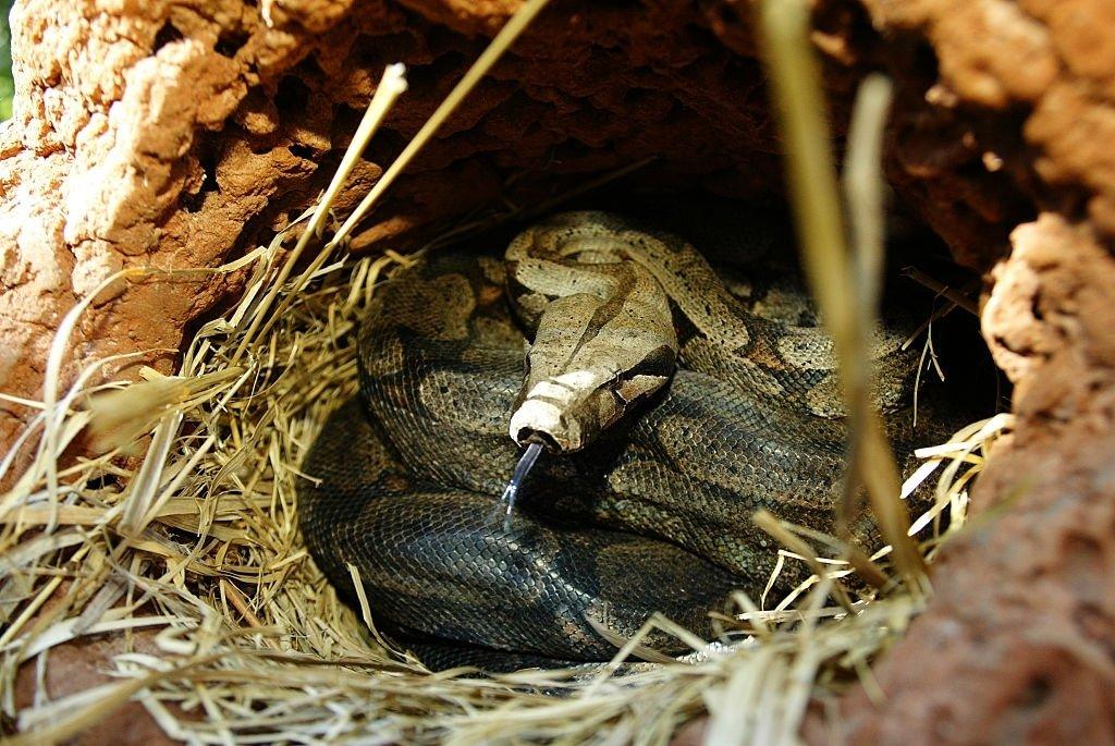 Snake's Nest