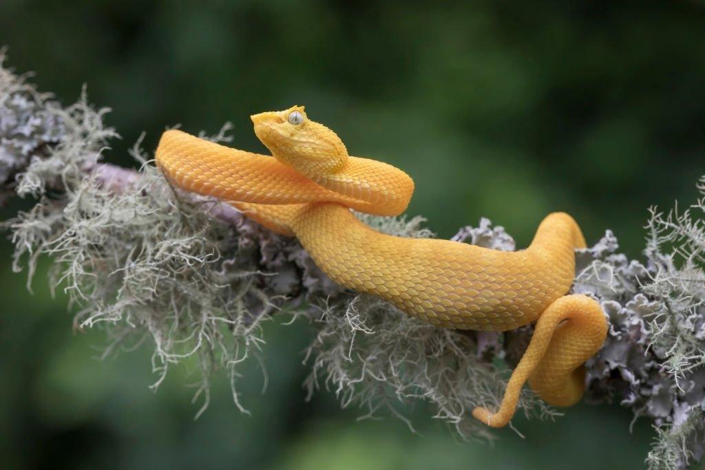 Serpiente Amarilla – Significado Y Simbolismo De Los Sueños 4