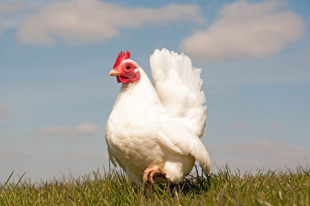 Chicken – Dream Meaning and Symbolism 3