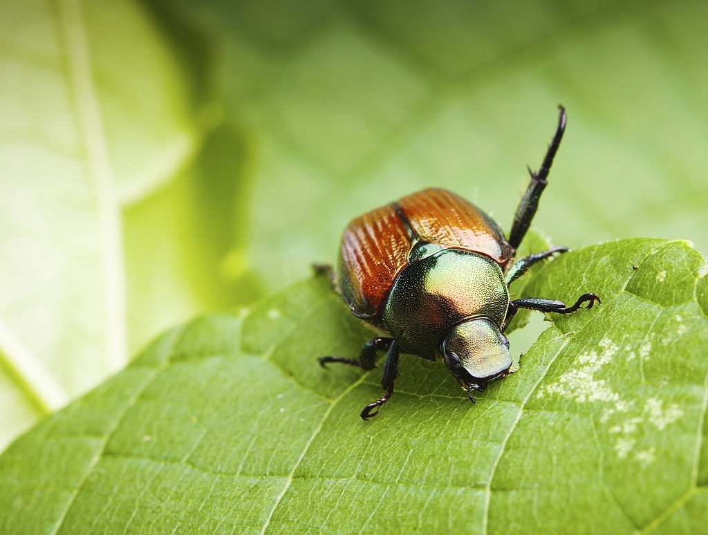 About Beetle