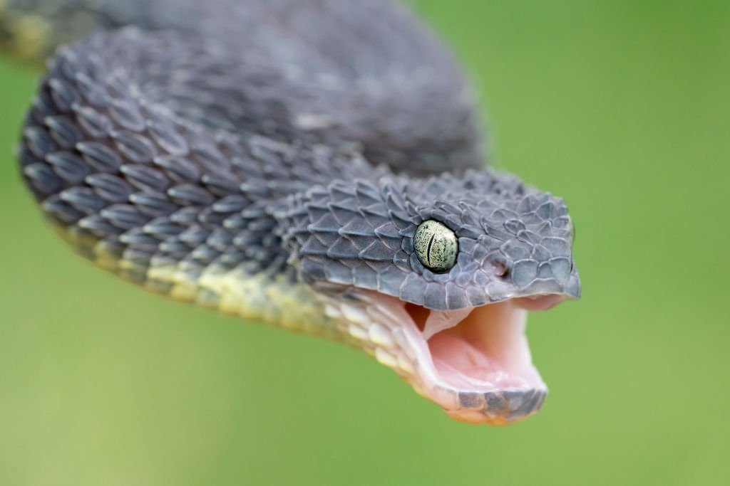 Attacked by grey snake