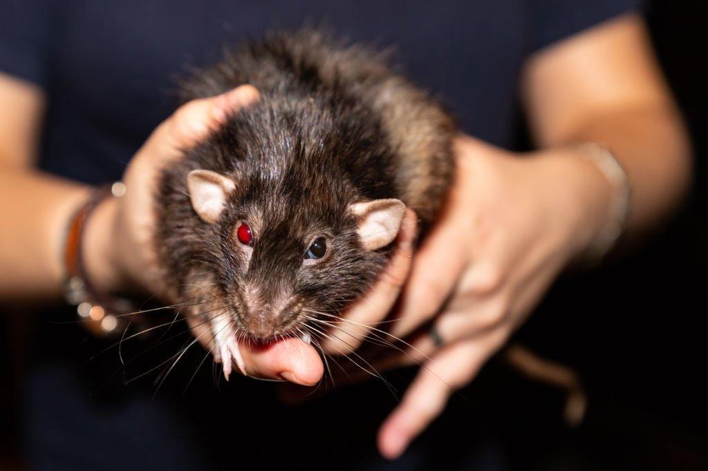 Big Black Mouse