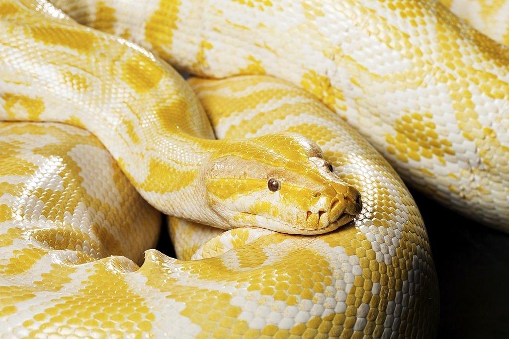Serpiente Amarilla – Significado Y Simbolismo De Los Sueños 3