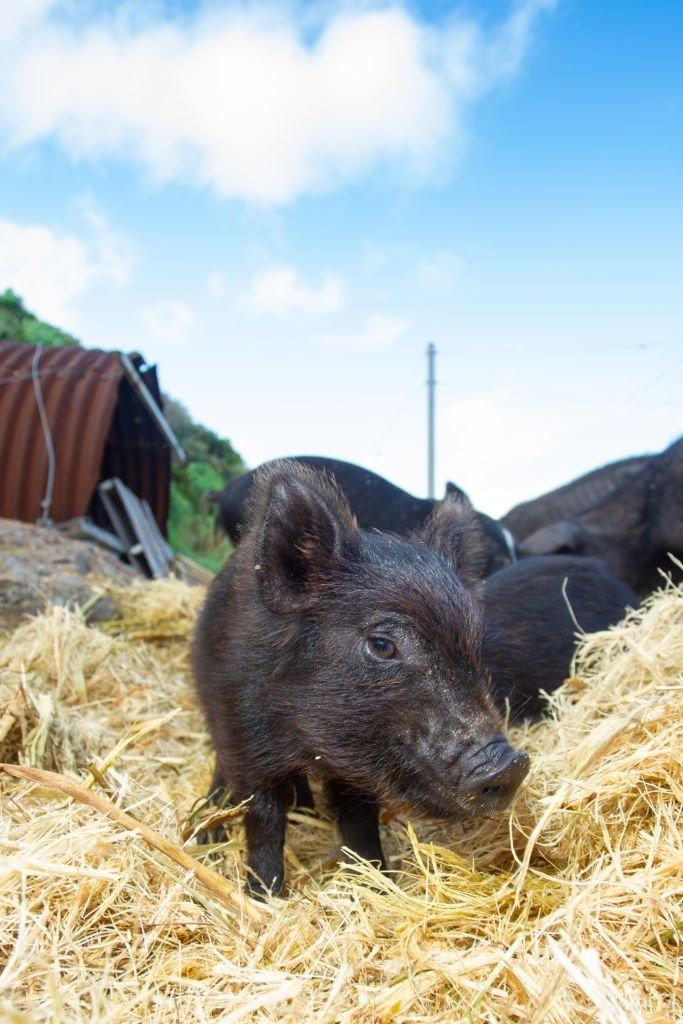 Pork – Dream Meaning and Symbolism 3