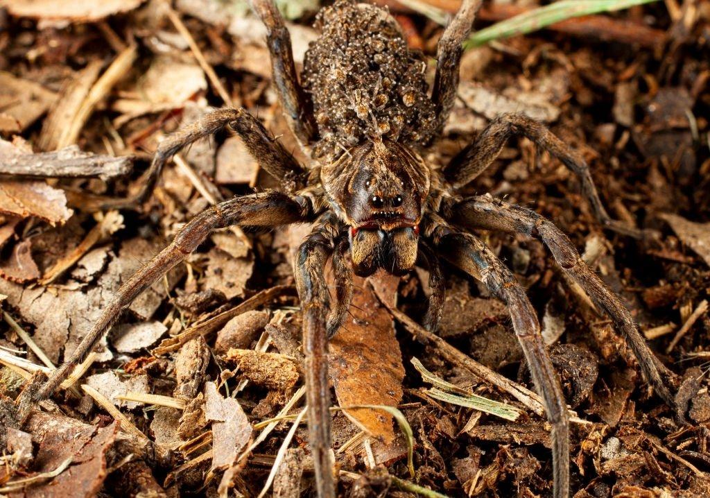 Brown Spider Bite