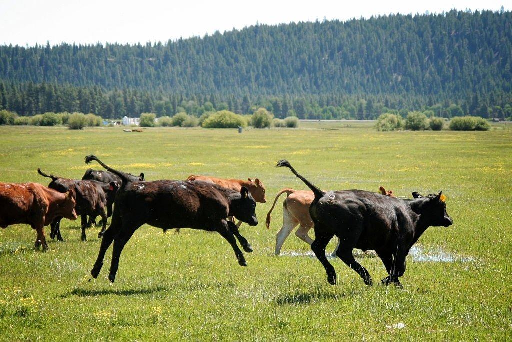 Calf Running