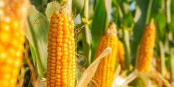 Corn – Dream Meaning and Symbolism 60