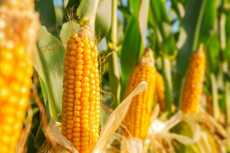 Corn – Dream Meaning and Symbolism 1