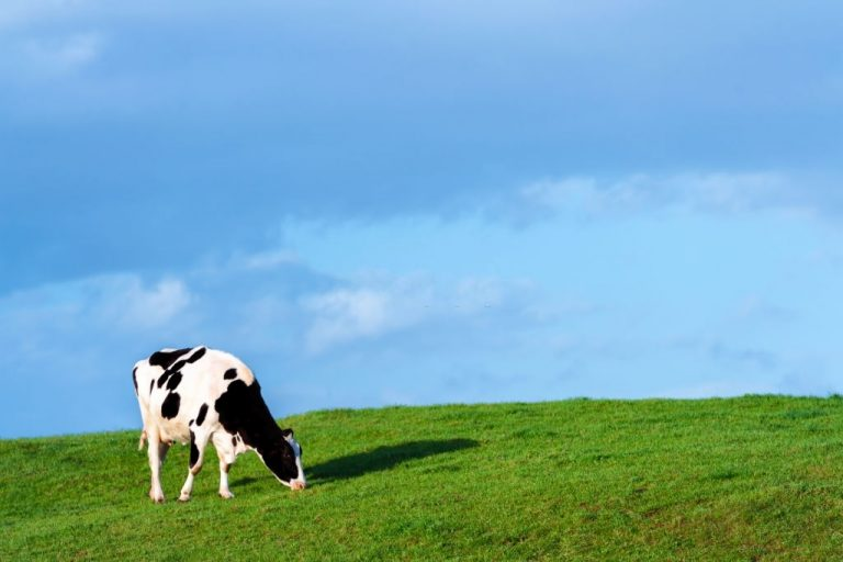 Cow – Dream Meaning and Symbolism 1