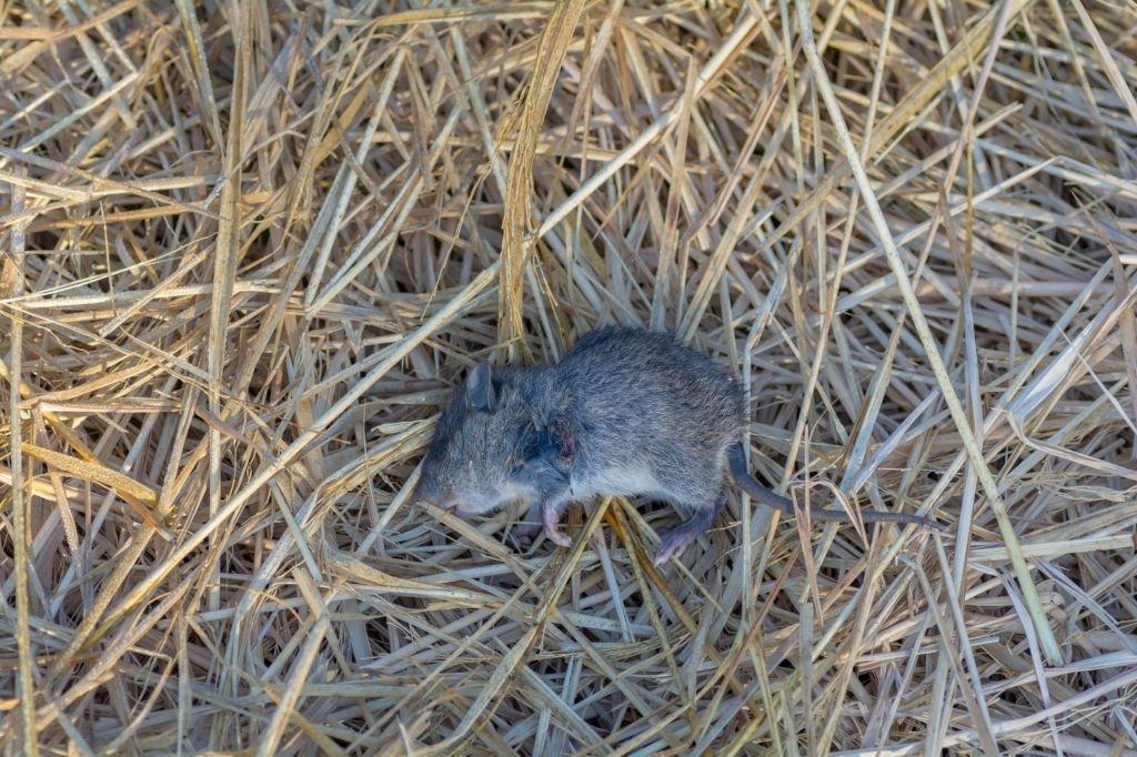 Ratón Muerto – Significado Y Simbolismo De Los Sueños 3