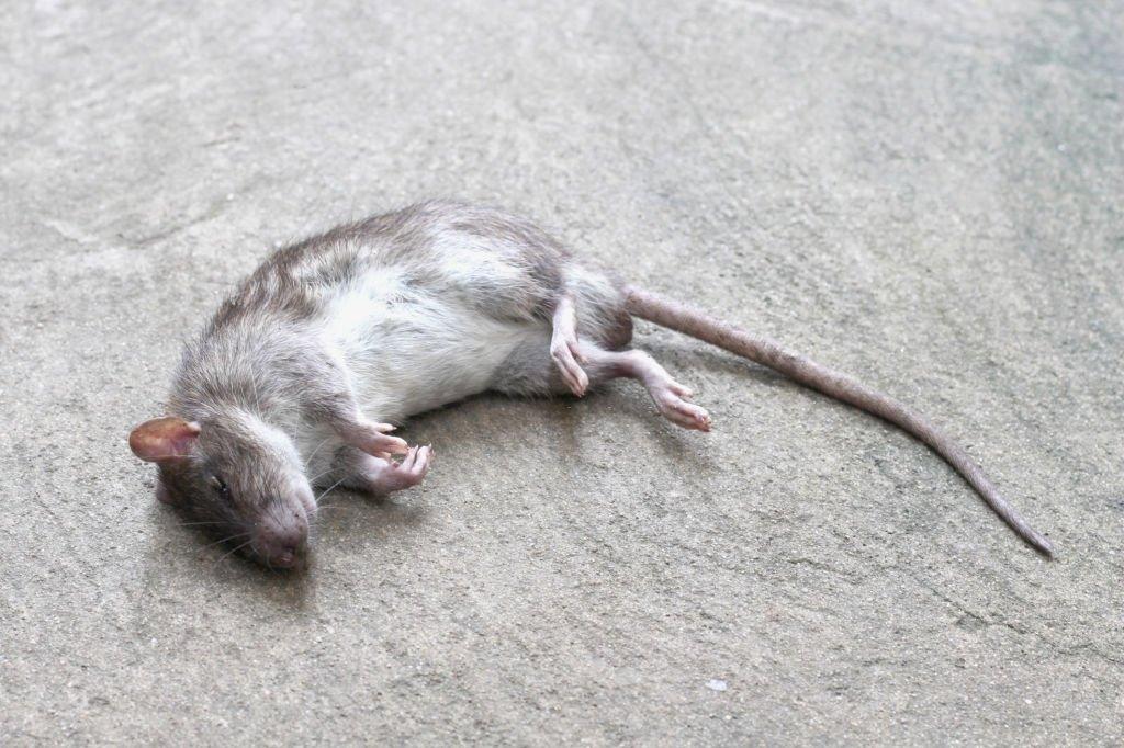 Dead Grey Mouse