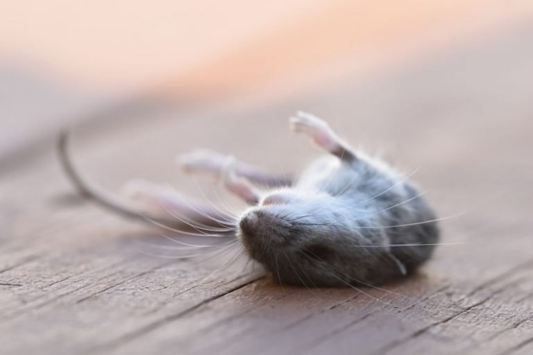 Dead Mouse – Dream Meaning and Symbolism 1