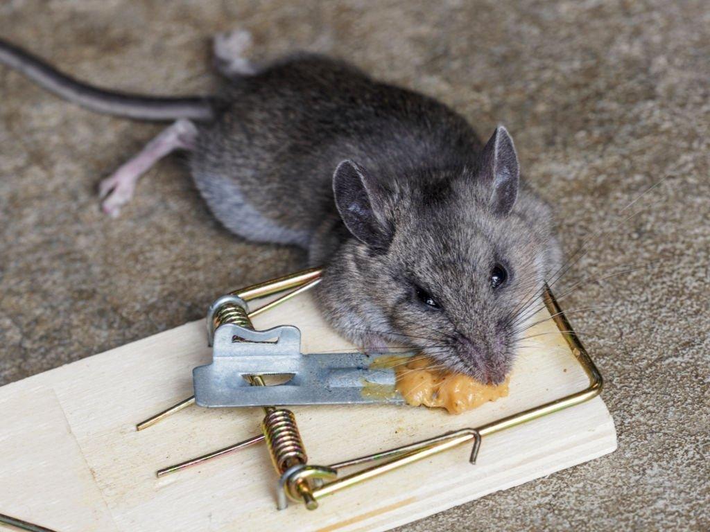 Ratón Muerto – Significado Y Simbolismo De Los Sueños 4