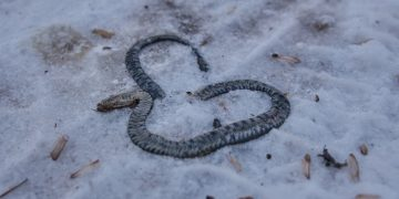 Dead Snake – Dream Meaning and Symbolism 114