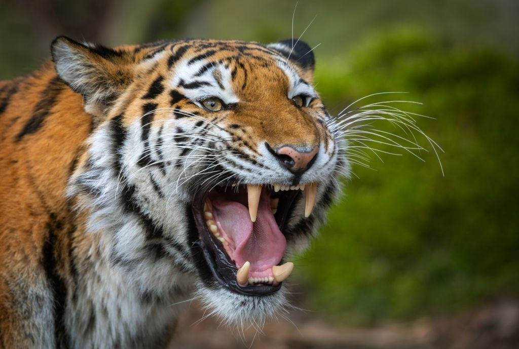 Tiger – Dream Meaning and Symbolism 3