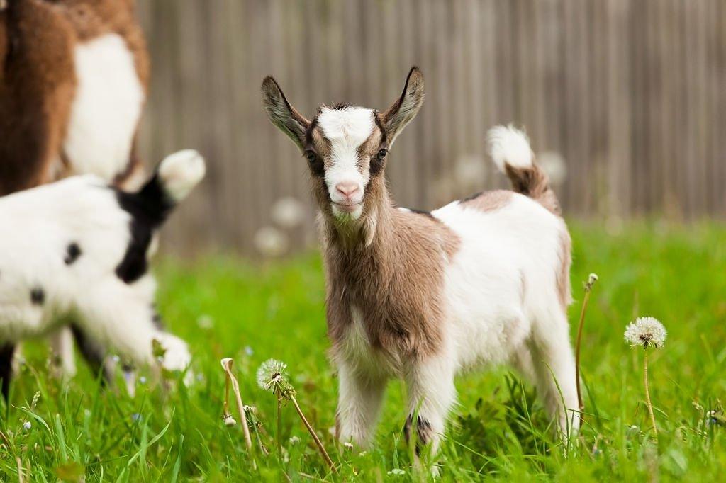 Goat Pup