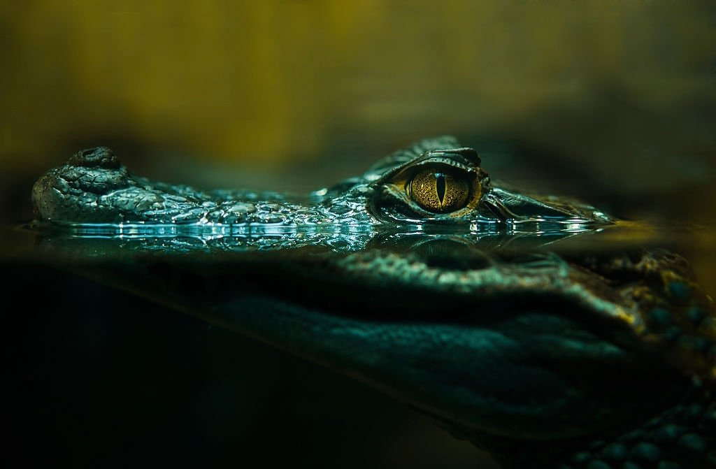 Alligator – Dream Meaning and Symbolism 3