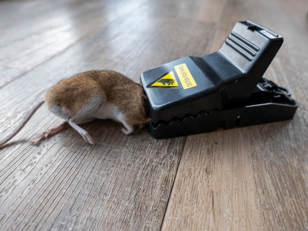 Grey Mouse Stuck In The Mousetrap