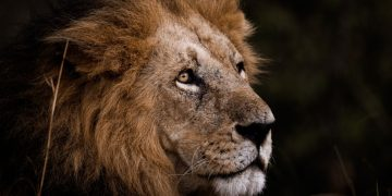 Lion – Dream Meaning and Symbolism 65