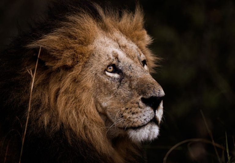 Lion – Dream Meaning and Symbolism 1