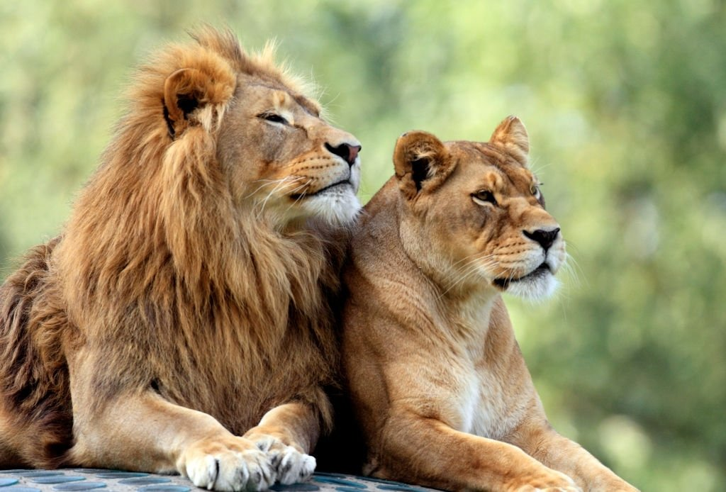 Lion – Dream Meaning and Symbolism 5