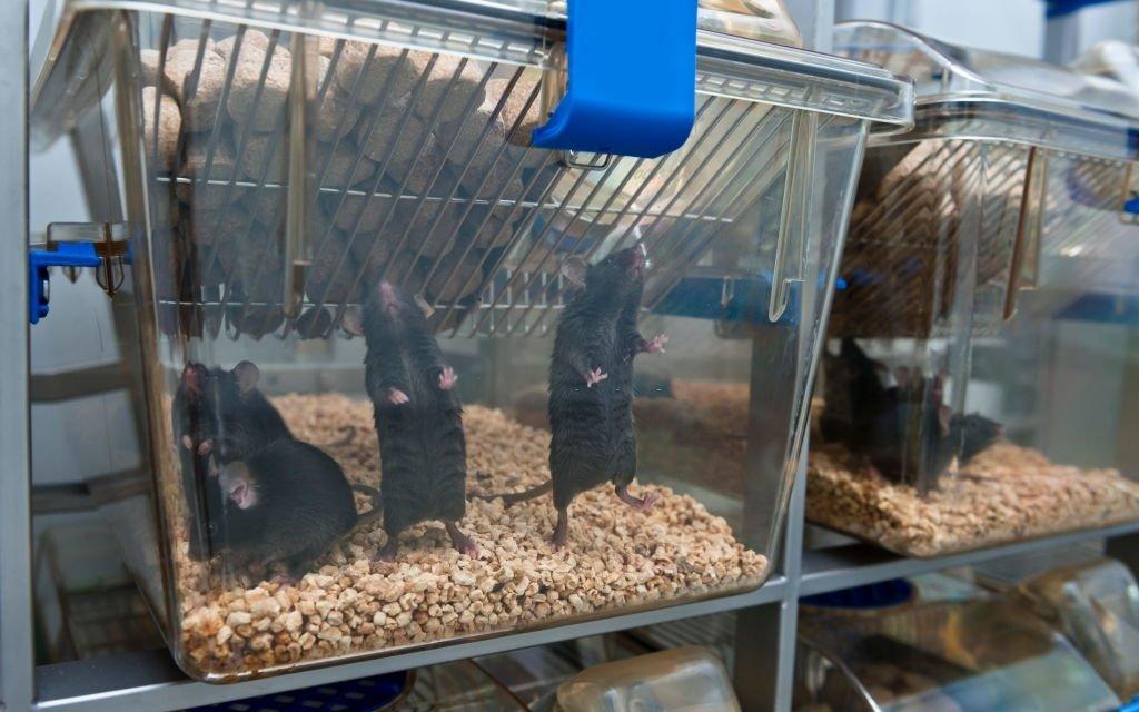 Lot Of Black Mice