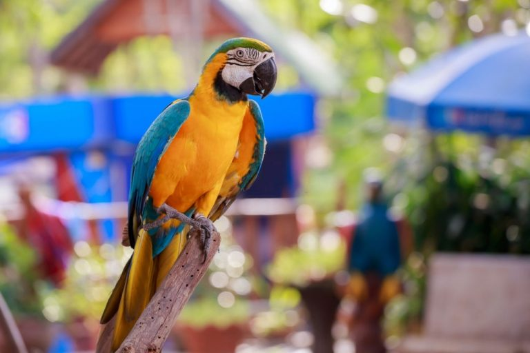 Parrot – Dream Meaning and Symbolism 1
