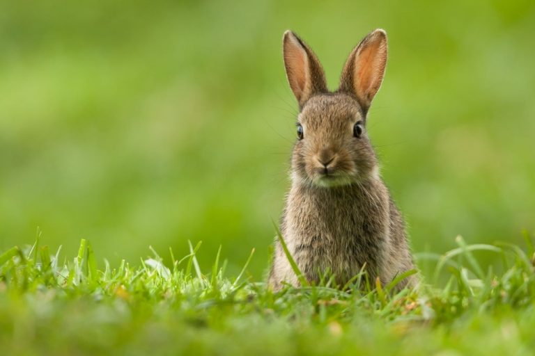 Rabbit – Dream Meaning and Symbolism 1
