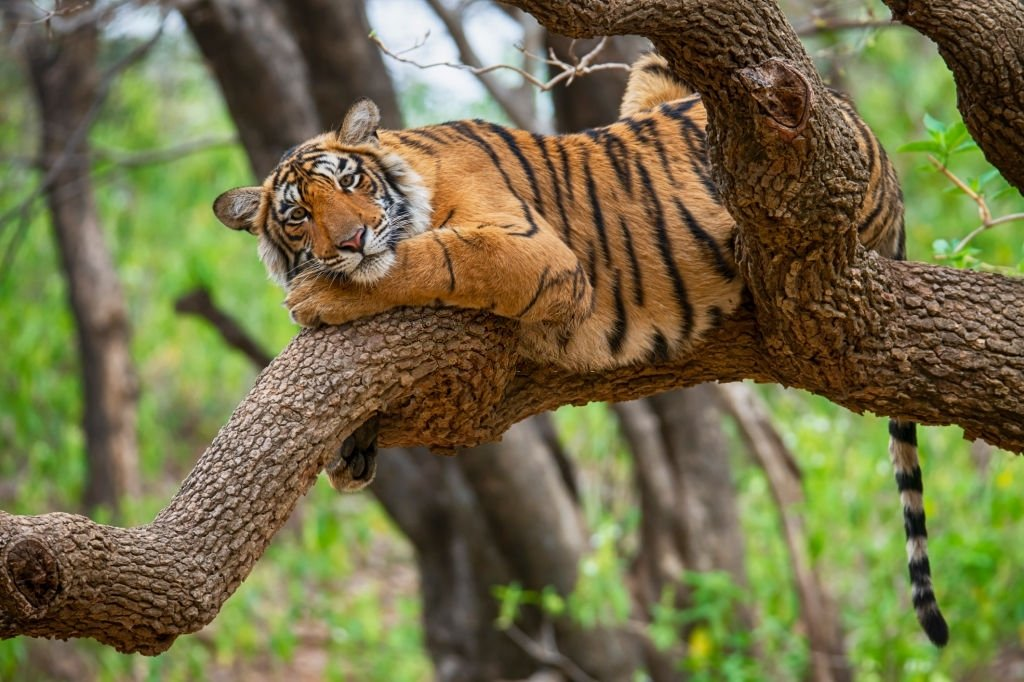 Tiger – Dream Meaning and Symbolism 6
