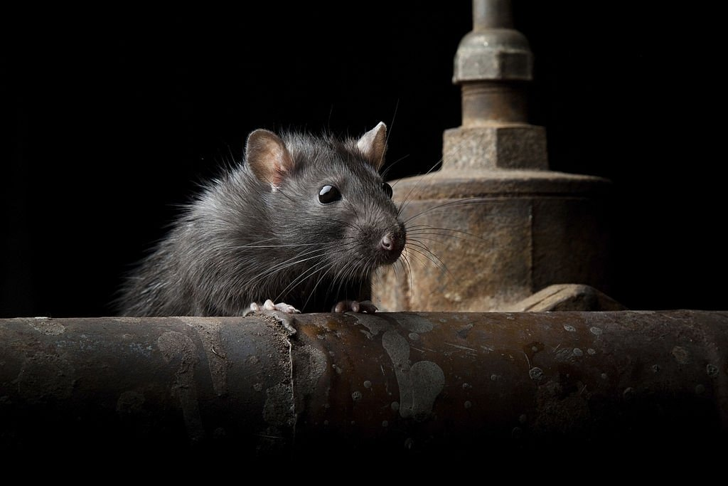 See A Black Mouse