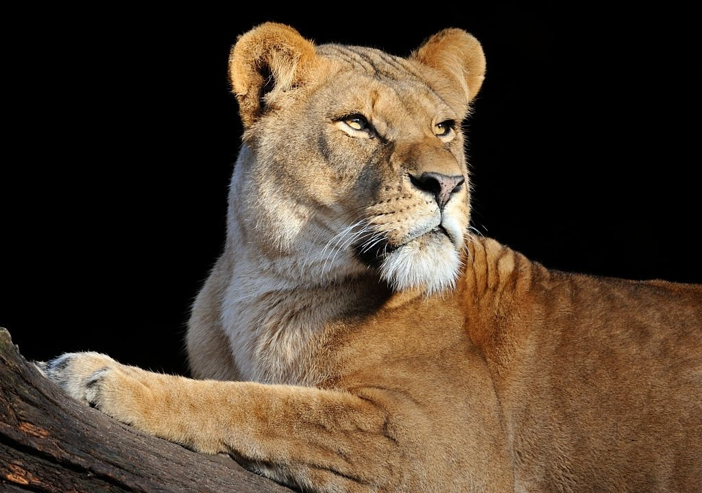 Seeing A Lioness