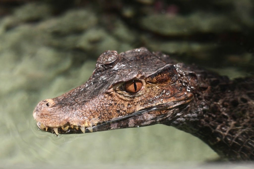 Alligator – Dream Meaning and Symbolism 4