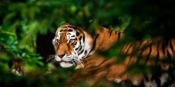 Tiger – Dream Meaning and Symbolism 70