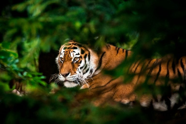 Tiger – Dream Meaning and Symbolism 1
