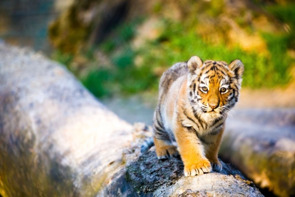 Tiger – Dream Meaning and Symbolism 5