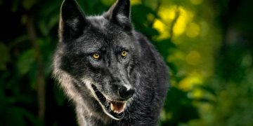 Wild Dog – Dream Meaning and Symbolism 122