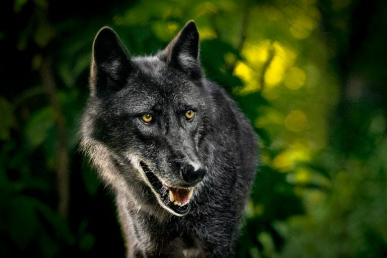 Wild Dog – Dream Meaning and Symbolism 1