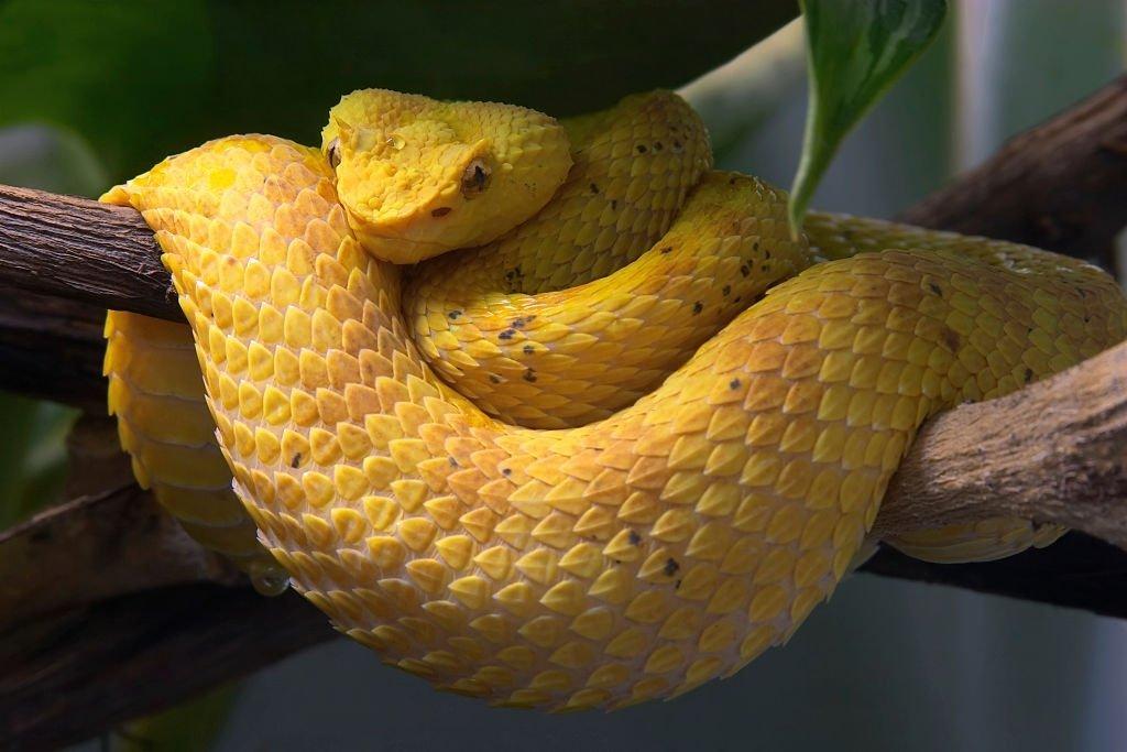 Serpiente Amarilla – Significado Y Simbolismo De Los Sueños 5