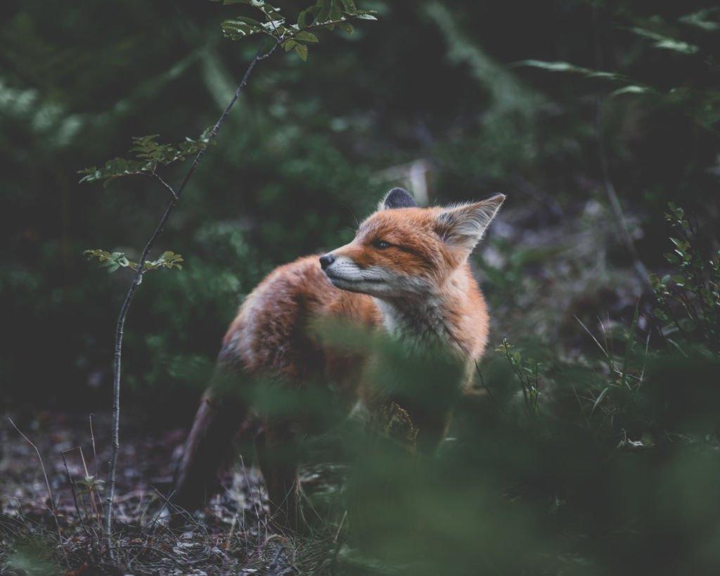 See a Fox