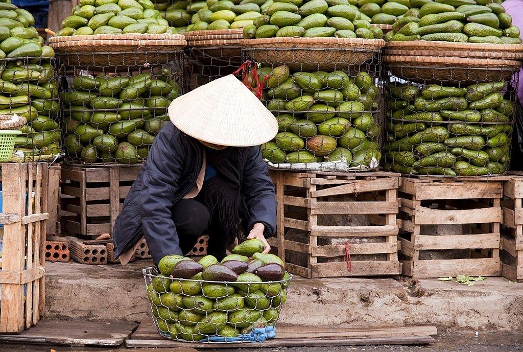 Avocado Harvest