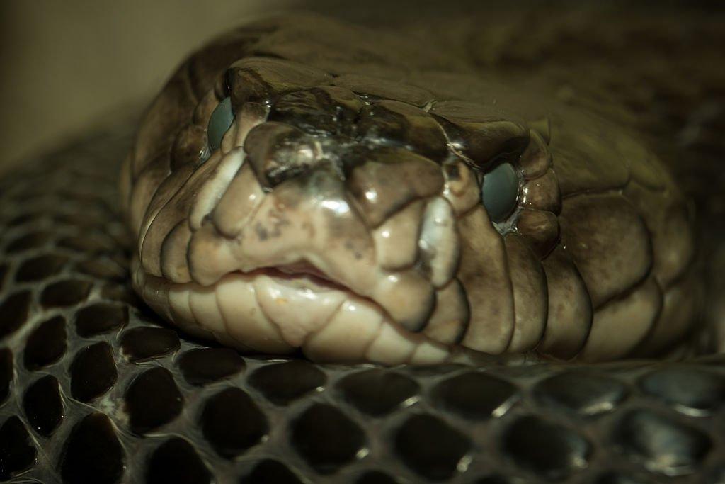 Big Cobra Snake