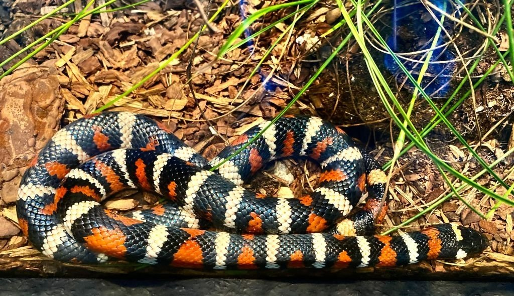 Coral Snake – Dream Meaning and Symbolism 4