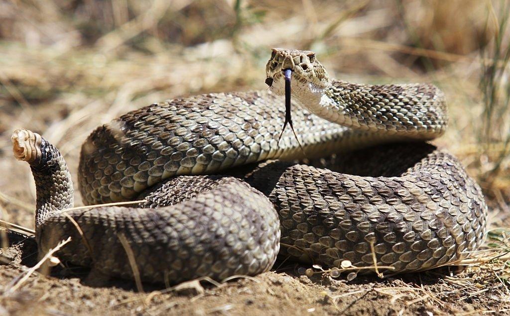 Serpiente De Cascabel – Significado Y Simbolismo De Los Sueños 5