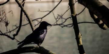 Black Bird – Dream Meaning and Symbolism 41