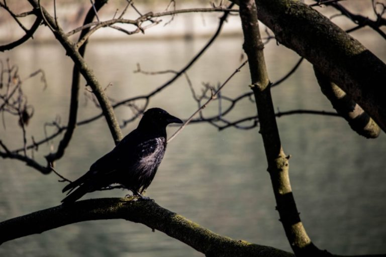 Black Bird – Dream Meaning and Symbolism 1