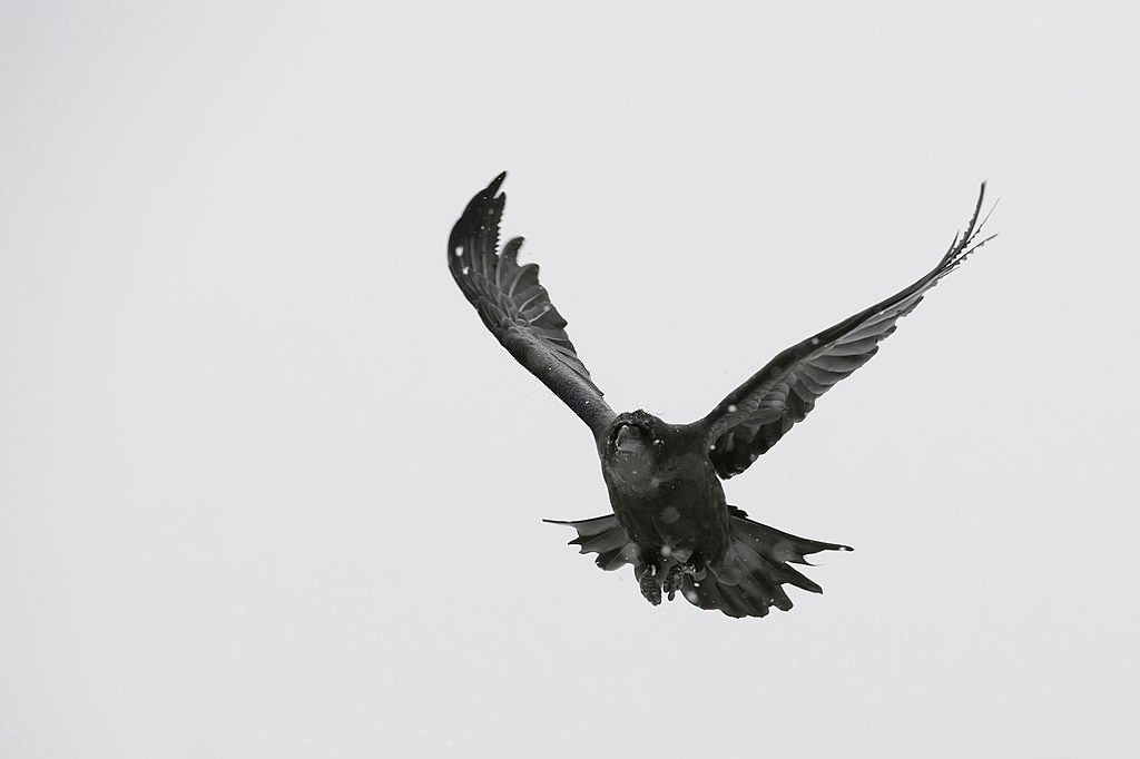 Black Bird – Dream Meaning and Symbolism 4