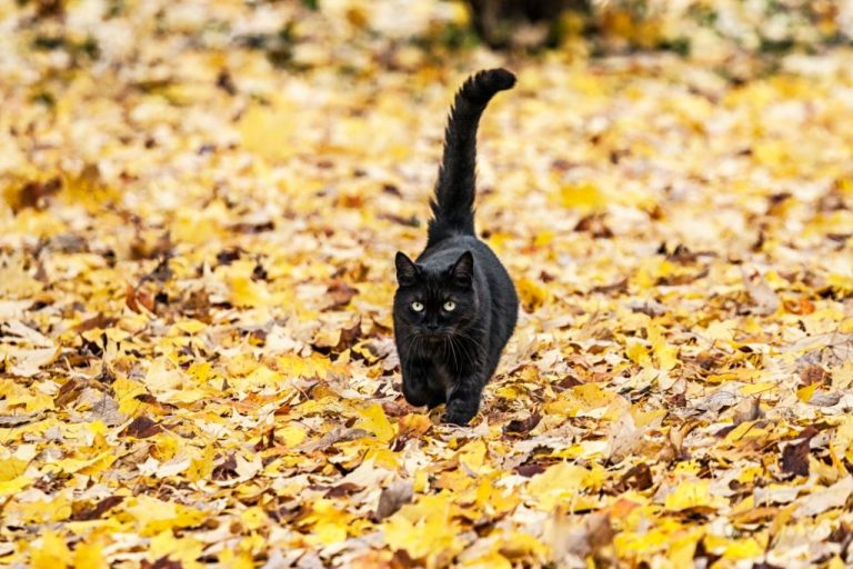 Black Cat – Dream Meaning and Symbolism 1