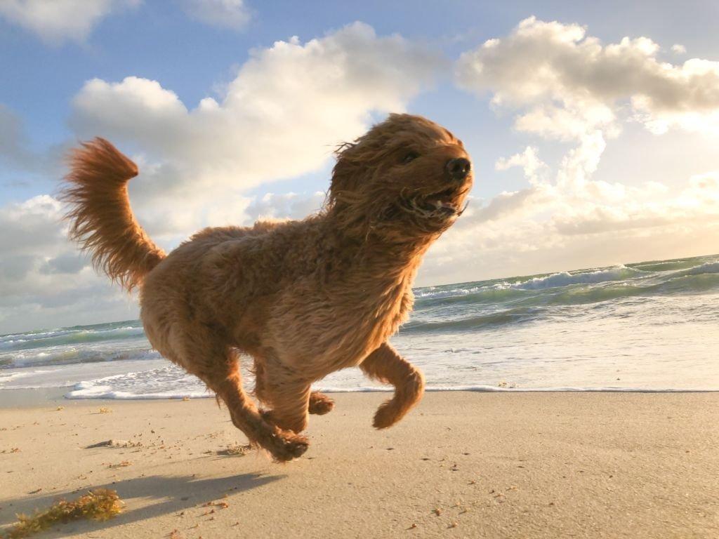 Brown Dog Running